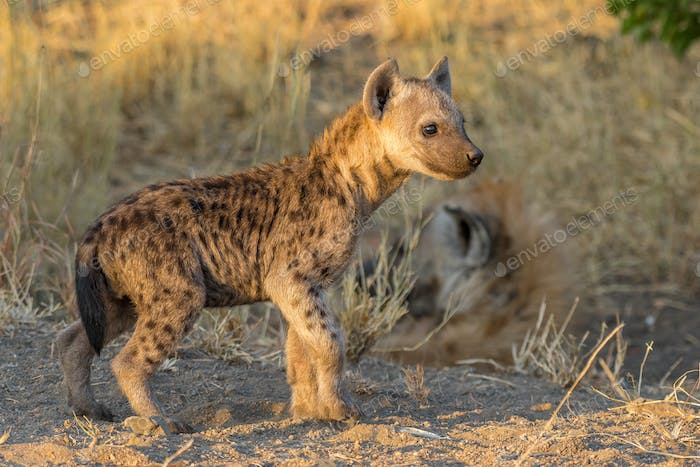 Spotted hyena cub at sunset