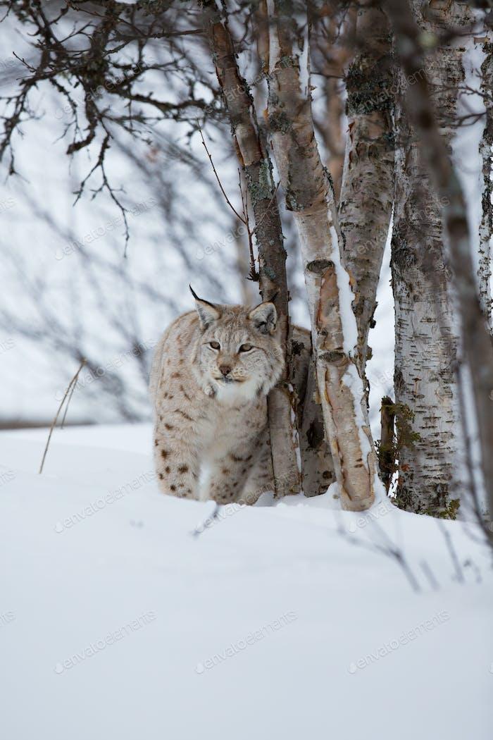 Lynx en el Bosque de invierno