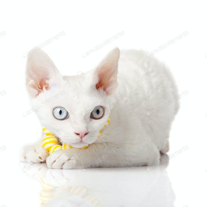 Devon Rex Katze auf weißem Hintergrund