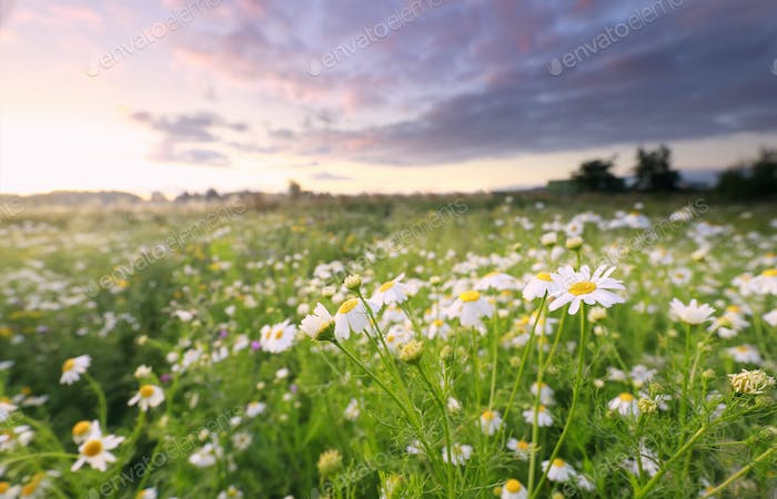 meadow with white chamomile at sunrise