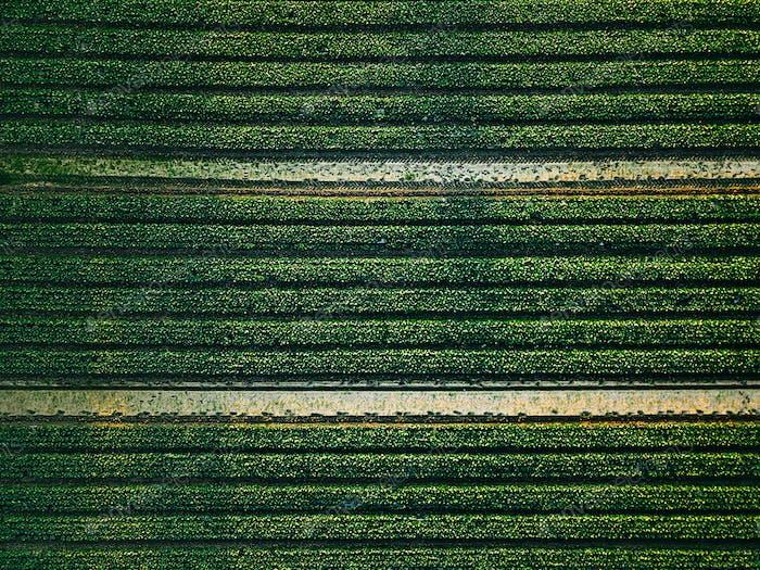 Luftaufnahme von Kohlreihen Feld in der landwirtschaftlichen Landschaft