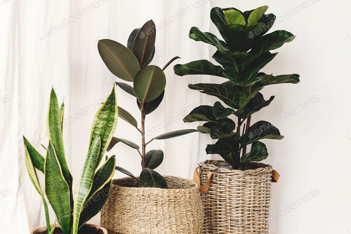 Ficus , Fiddle leaf fig tree, snake sansevieria plants in pots on sunny white background