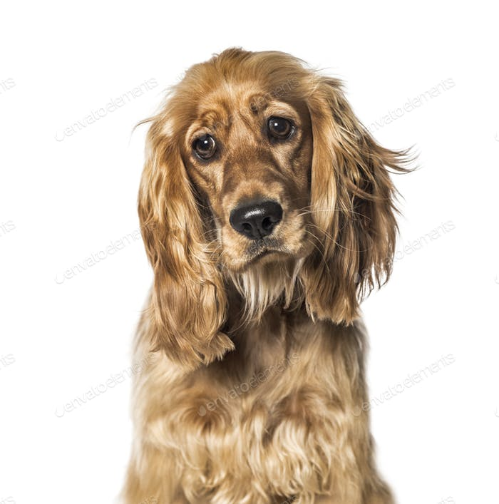 English Cocker in front of white background