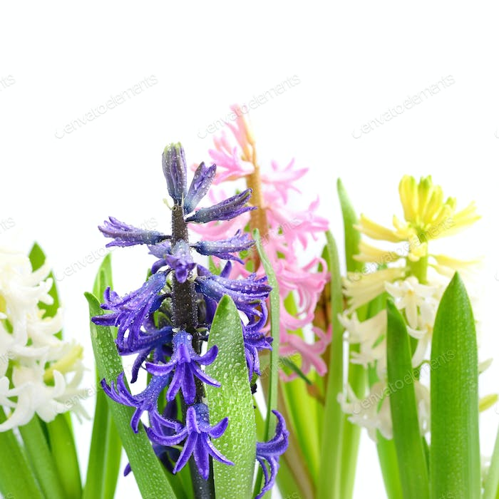Group multicolored hyacinths with drops of water on a white back