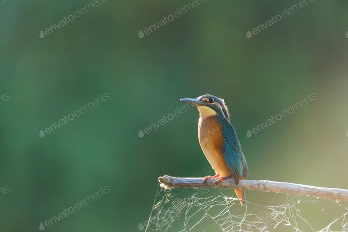 Kingfisher or Alcedo atthis perches on branch with spiderweb attached to it