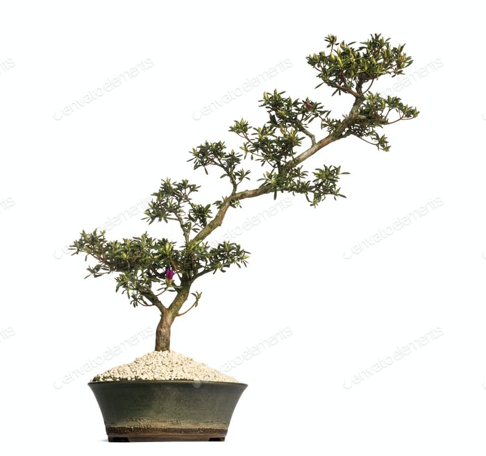 Azalea bonsai tree, Rhododendron, isolated on white