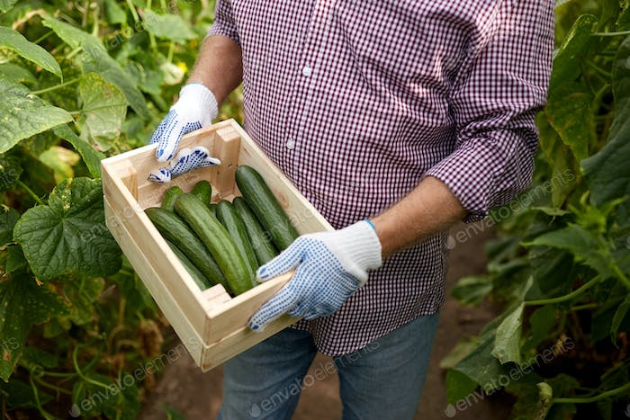 man with box of cucumbers at farm greenhouse