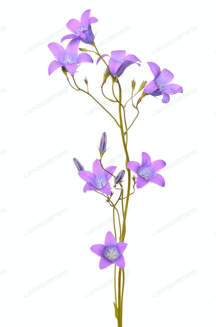Campanula Blume