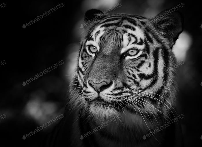 Porträt eines sibirischen Tigers