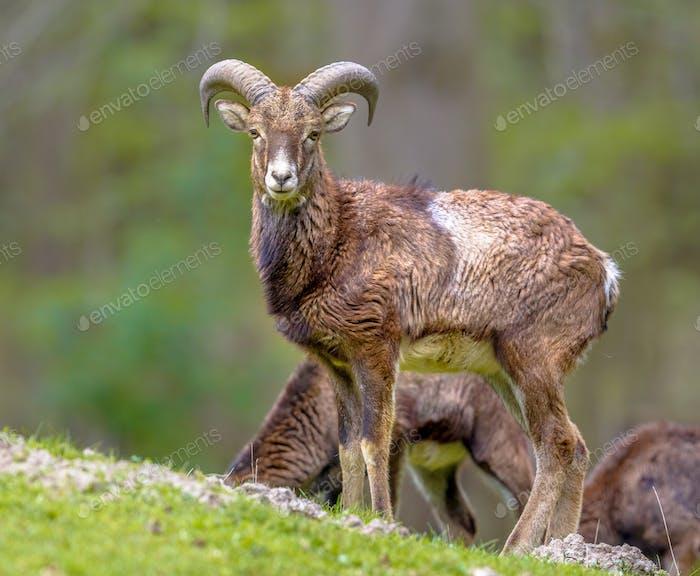 Mouflon sheep male on hill