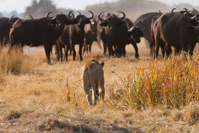 African lion and buffalo, Botswana