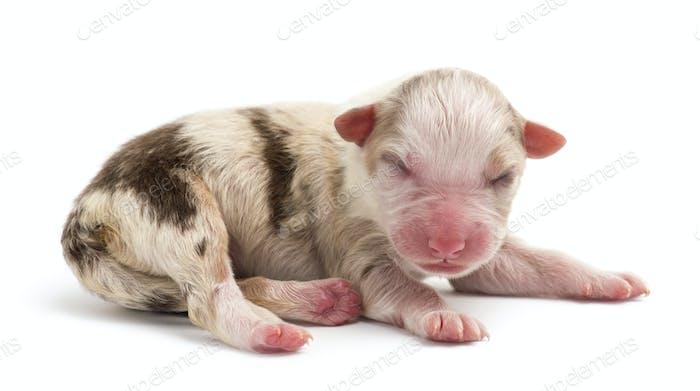 Thumbnail for Australian Shepherd puppy, 1 day old, lying against white background