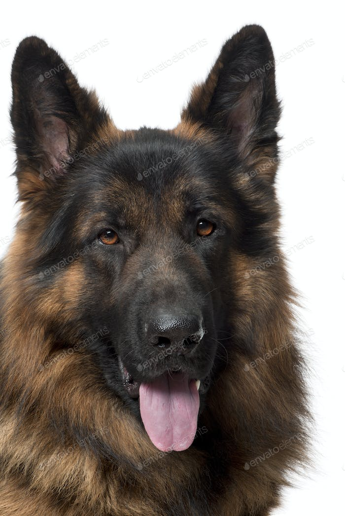 Close-up of German Shepherd Dog, 2 years old, in front of white background