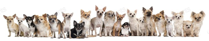 Group of Chihuahuas sitting against white background