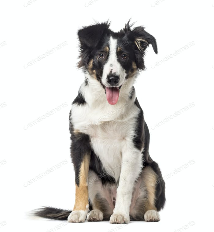 Puppy Border Collie panting, 5 months old, isolated on white