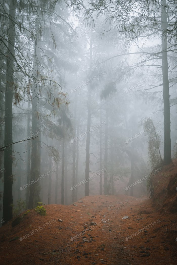 Road in a mysterious foggy pine forest. Rainy and misty weather near Cova crater on Santo Antao