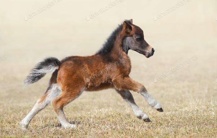 American miniature horse. Bay foal in motion.