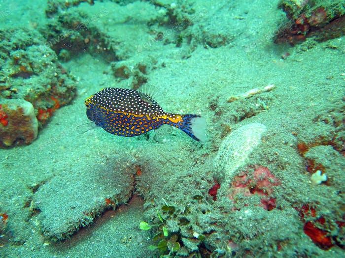 Gedeihendes Korallenriff lebendig mit Meereslebewesen und Fisch, Bali