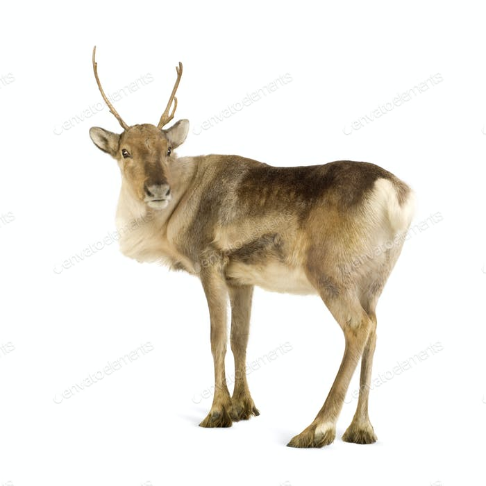 reindeer (2 years)