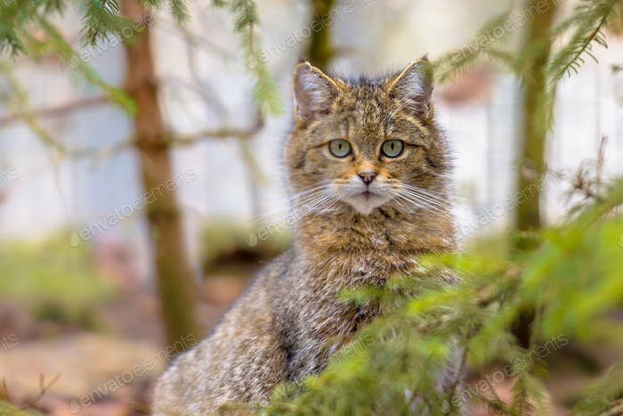Peeking European wild cat