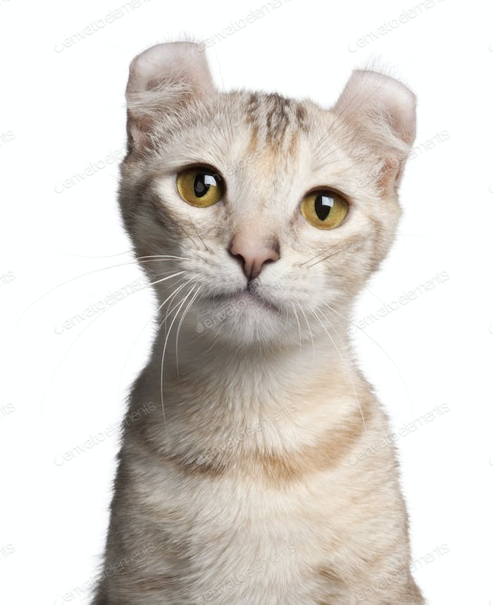 American Curl kitten, 7 months old, in front of white background