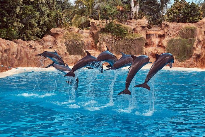 Delfine, die während einer Delfinshow mit ihren Trainern in einem nationalen Zoo auftreten.