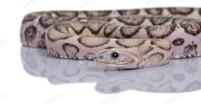 Scaleless corn snake or red rat snake, Pantherophis guttatus, in front of white background