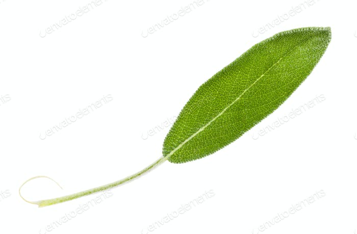 green leaf of sage (salvia officinalis) isolated