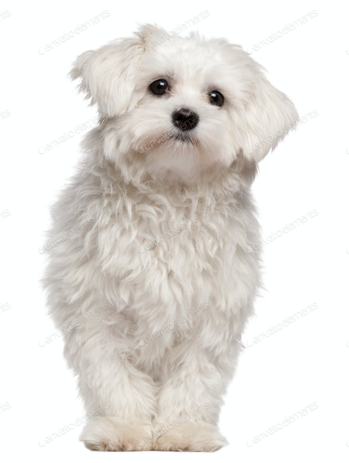 Maltese puppy (-9 month old)