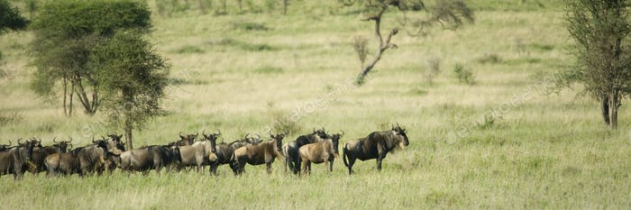 herd of wildebeest