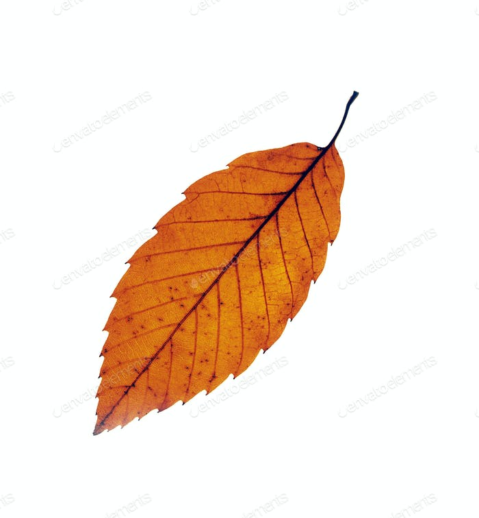 Autumn maple leafs isolated on white