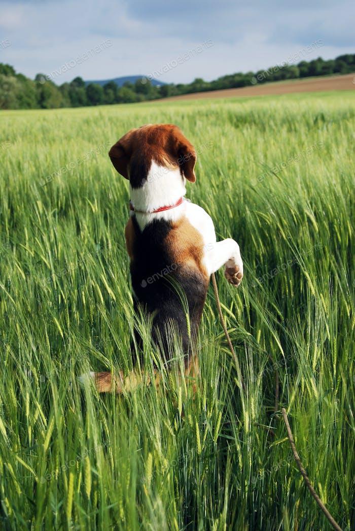 Cute hunting dog