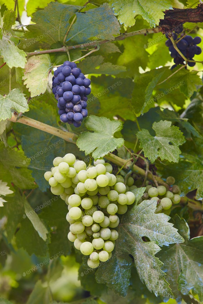 Bunches of grapes with green leaves background. Harvest time. Vertical