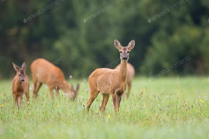 Roe-deer with family in the wild