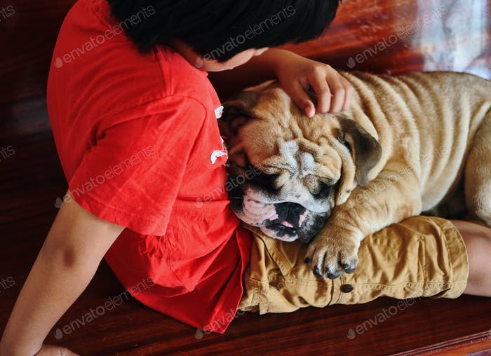 English bulldog sleep on the lap of a boy who is it own