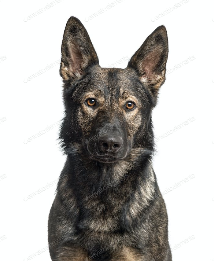 Close-up of a german Shepherd Dog, isolated on white