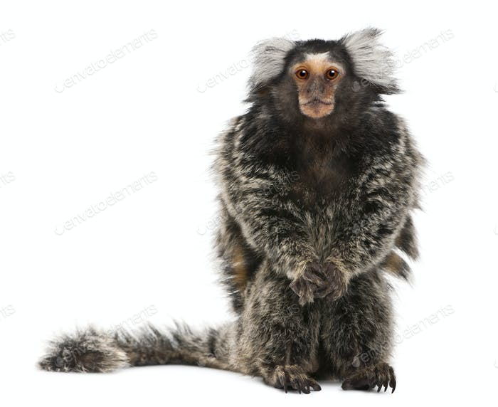 Common Marmoset, Callithrix jacchus, 2 years old, sitting in front of white background
