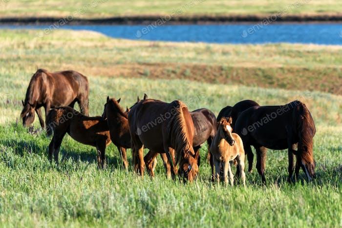 Wild horses grazing on summer meadow