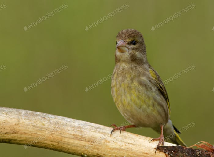 Young Greenfinch (Carduelis chloris)  on the branch