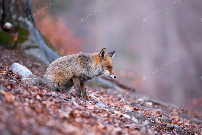 Attentive red fox focusing on the hunting in the autumnal and gloomy forest