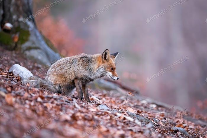 Aufmerksamer Rotfuchs mit Fokus auf die Jagd im herbstlichen und düsteren Wald