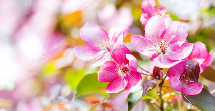 Pink flowers Cherry blossom spring background. Springtime garden landscape blossoming pink petals