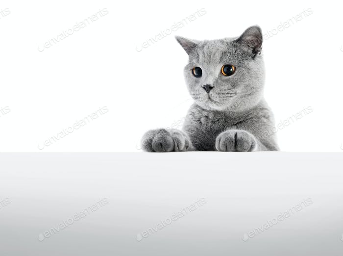 British Shorthair cat isolated on white. Hunting