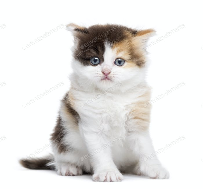 Front view of a Highland straight kitten sitting, isolated on white