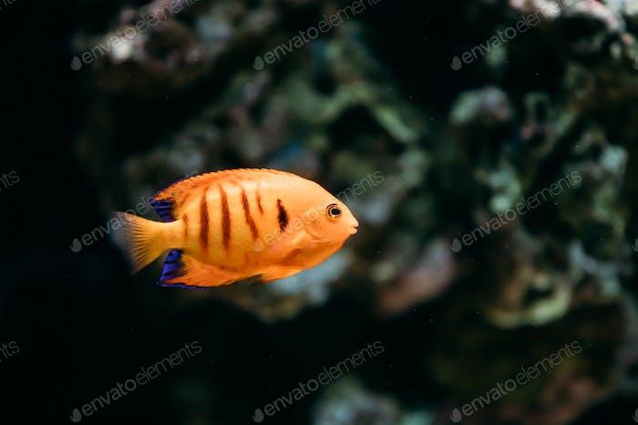 Flame Angelfish, Flame Angel Fish, Flame Angel Or Centropyge Lor