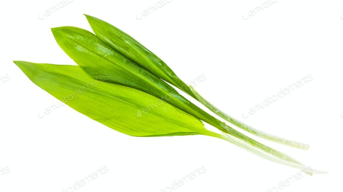 three twigs of fresh wild garlic (ramson) isolated