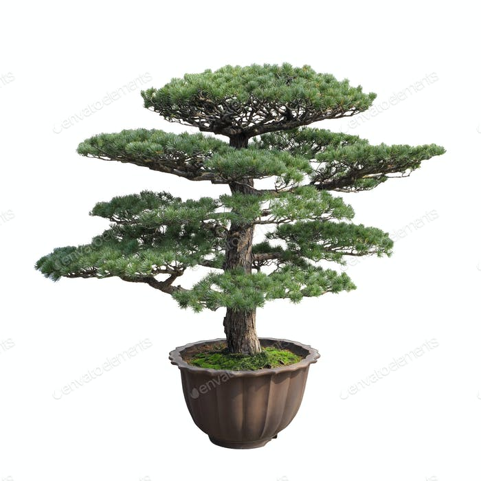 große Bonsai-Kiefer