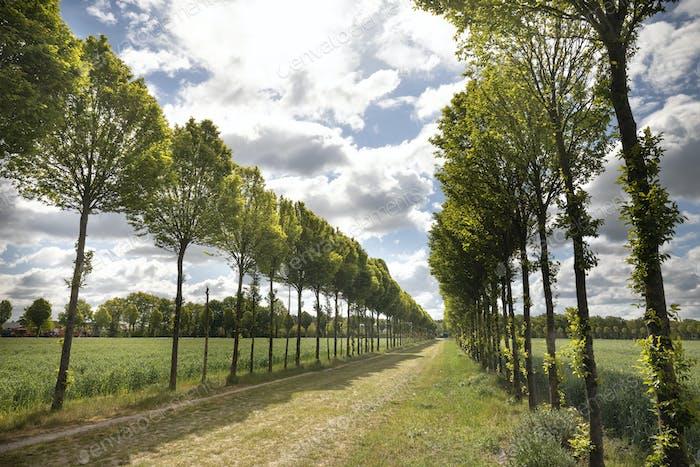tree rows in sunshine
