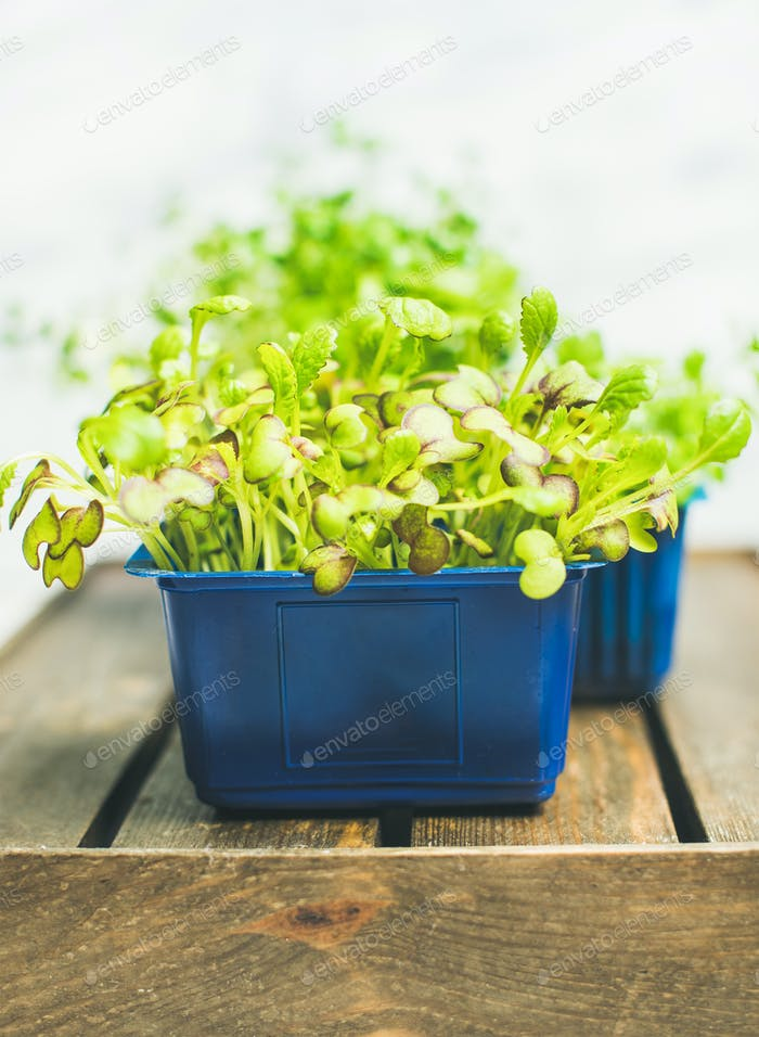 Fresh spring green live radish kress sprouts on wooden tray