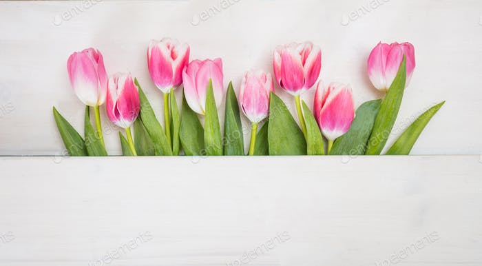 Spring time. Pink tulips on blue background, copy space, top view, banner